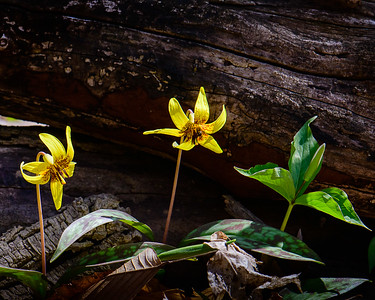 Trout Lilies and Trillium Bud