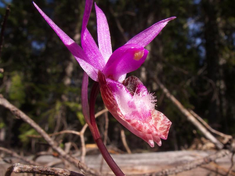 Calypso orchid, also known as the fairy slipper or Venus's slipper