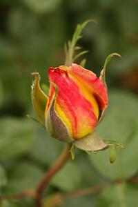 Rose-109