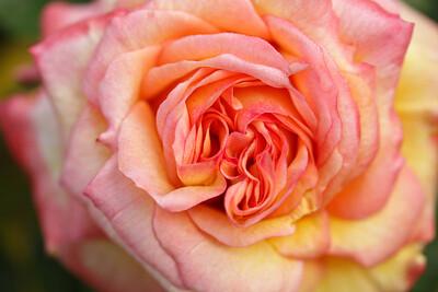 Rose-112