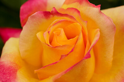 Rose-108