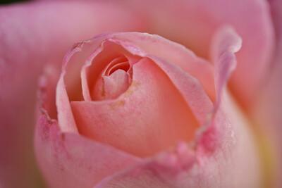 Rose-113