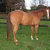 Barbara C.'s horse, Mr. Darcy, a a 9 yr old Appendix QH foxhunter.
