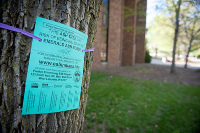 Ash tree signs cocnerning the Emerald Ash Borer. Placed on ash trees throughout campus