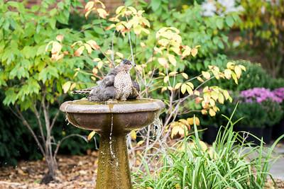 Hawk in ISU birdbath