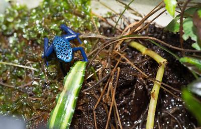 Dart Frogs