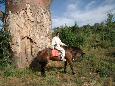 Zimbabwe: Horse, Rider and Baobab Tree