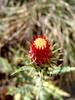 Somekind of thistle flower.