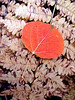 A red aspen leaf on a brown fern.