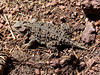 This horny toad lizard really blended in well with its surroundings, but I still managed to see him!