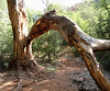 This is new since the last time I was here.  A HUGE branch broke creating an arch over the trail.