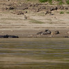 water buffaloes and calves