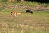 Deer and wild boar at Myakka State Park