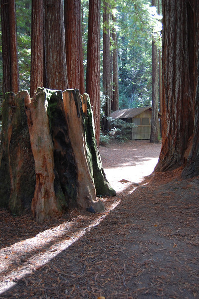 Old growth stumps