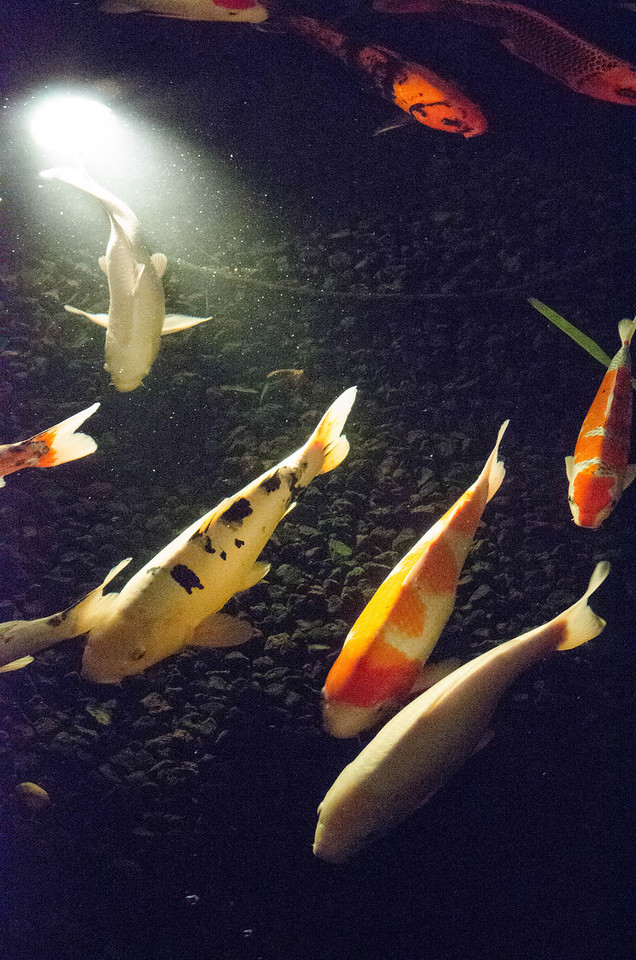 What? You've never seen Christmas Koi at ISO 25,600?