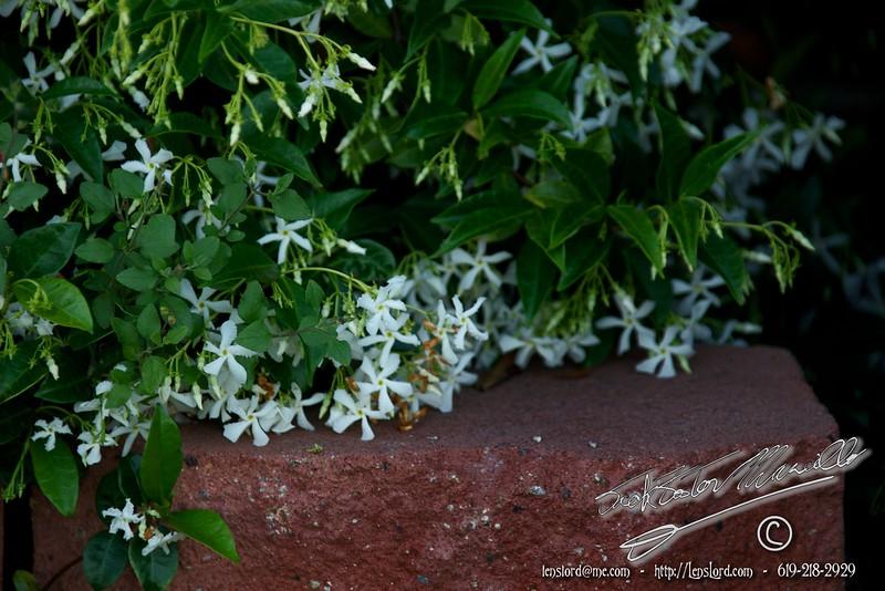 Night Blooming Jasmine _MG_1054