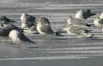 Mew Gull-Feb. 06, 2013 (left center)