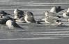 Mew Gull-Feb. 06, 2013 (left center)