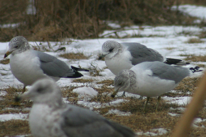Mew (Common) Gull with Ring-billed Gulls- March 1st, 2012 Tufts Cove Dartmouth