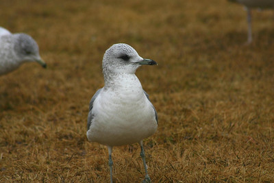 Mew (Common) Gull
