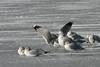 Mew Gull-Feb. 06, 2013 (wings spread)