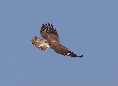 Short-tailed Hawk   Nayarit 2013 03 10 (3 of 3).CR2