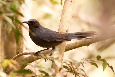 Blue Mockingbird  Jalisco Mexico 2013 03 15 (1 of 1)-1.CR2 (1 of 1).CR2