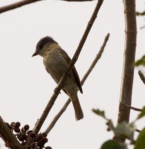 Northern Beardless Tyrannulet  near San Blas 2013 03 13 (1 of 1).CR2