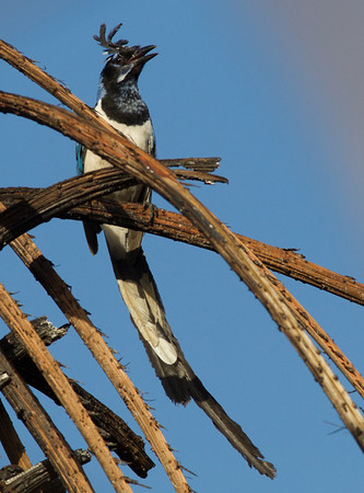 Black-throated Magpie Jay   Nayarit 2013 03 10 (2 of 3).CR2