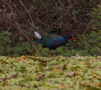 Purple Gallinule  near San Blas 2013 03 13 (1 of 2).CR2