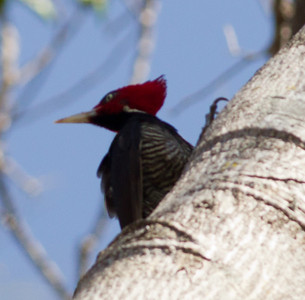 Pale-billed Woodpecker  near Twito, Jalisco  Mexico 2013 03 16 (1 of 2).CR2 (1 of 2).CR2