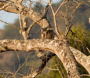 Blue-throated Tiger Heron Rancho Primavera Jalisco Mexico 2013 03 16 (1 of 1).CR2