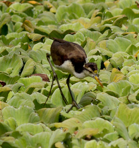 Jacana  near San Blas 2013 03 13 (1 of 4).CR2