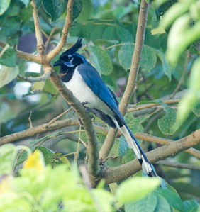 Black-throated Magpiejay  Rancho Primavera Jalisco Mexico 2013 03 16 (1 of 4).CR2