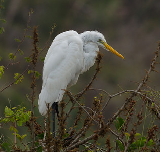Great Egret  near San Blas 2013 03 13 (1 of 1).CR2 (1 of 1).CR2