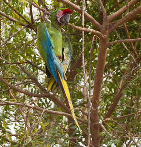 Military Macaw  Tuito Jalisco Mexico 2013 03 15 (2 of 3).CR2