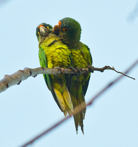 Red-fronted Parrot  Rancho Primavera Jalisco Mexico 2013 03 19 (4 of 4).CR2