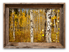 The Aspen Forest, Grand Tetons<br /> 11 x 17 Canvass   $80.00