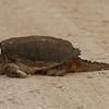 Common Snapping Turtle-Seney National Wildlife Refuge, MI