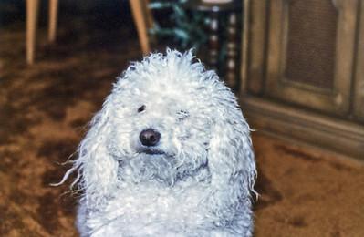 Crossmans-Poodle