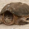 Common Snapping Turtle - Seney National Wildlife Refuge, Michigan