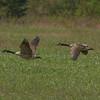 Canada Geese - Seney National Wildlife Refuge, Michigan