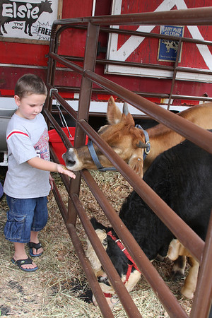 Feading the cows at Cow Town USA the Mid-South Fair.