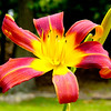 Flower - Maroon Lily