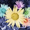 Daisies Colored