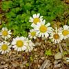 Flower - Daisies