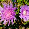 Flower - Double Light Purple