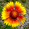 Flower - Red and Yellow 6
