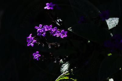 Scentropia Dark Blue (Heliotropium arborescens)