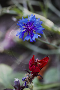 Cornflower and Cardinal Flower (Centaurea cyanus and Lobelia cardinalis)